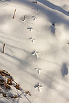 Ruffed grouse tracks in the snow