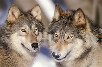 Gray Wolves or Timber Wolves (Canis lupus)