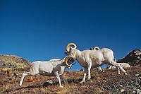 Dall sheep rams butting heads--dominance behavior.  Alaska. Fall.