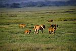Lions (Panthera leo) Ngorongoro Crater - Tanzania
