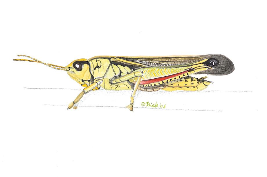 Moerassprinkhaan (Stethophyma grossum).