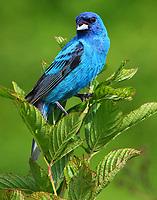 Adult male indigo bunting singing