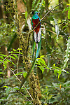Portrait of a male resplendent quetzal perched on a branch in the Biosphere Reserve El Triunfo of the Sierra Madre range of Chiapas, Mexico.
