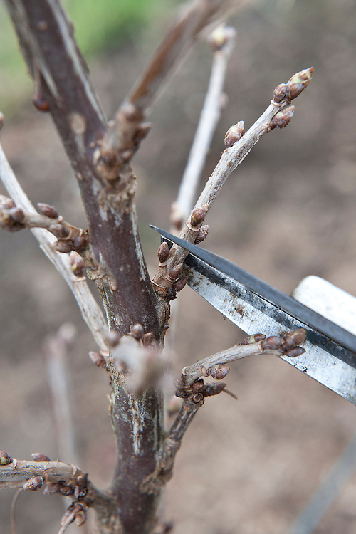Prune redcurrants and whitecurrants between November and March. Cut back sideshoots to just one or two buds - in order to encourage new growth, flowers, and then fruit.
