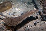 Windowpane Flounder swimming right on sand bottom