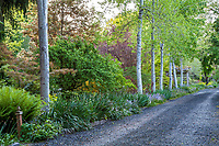 Populus tremuloides, Quaking aspen, columnar white trunk trees lining mixed shrub border alongdriveway path in O'Byrne Garden