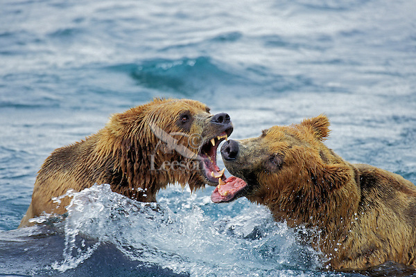 Coastal grizzly bear (Ursus arctos) arguing over salmon fishing rights.  McNeil River, Alaska.  Summer.