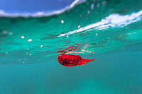 The image of a floating red leaf reflects in the ocean's surface above it, O'ahu.