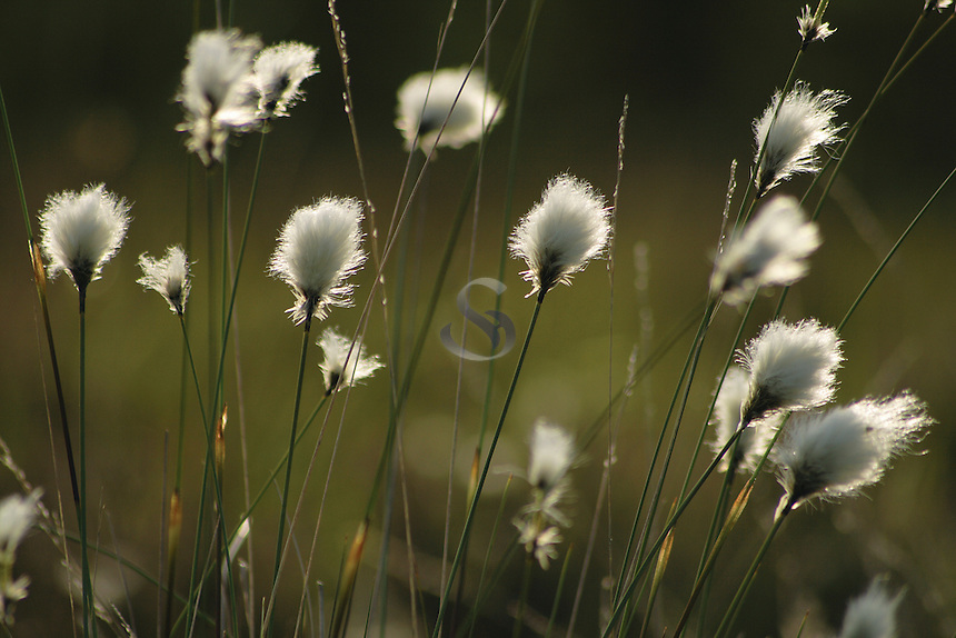 Common Cottongrass<br /> <br /> Copyright www.scottishhorizons.co.uk/Keith Fergus 2011 All Rights Reserved