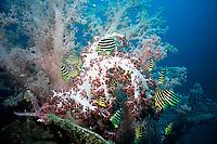 Stripey, Microcanthus strigatus, soft coral, Dendronephthya sp. Futo, Sagami bay, Izu peninsula, Shizuoka, Japan, Pacific Ocean