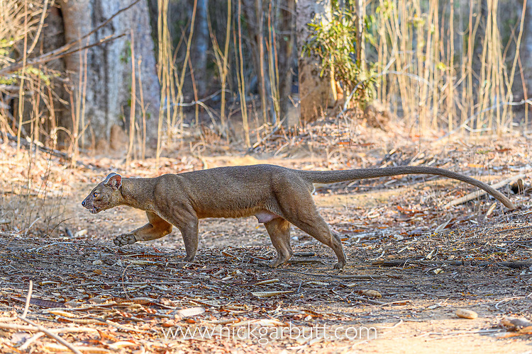 Male fosa (Cryptoprocta ferox)(sometimes erroneously fossa) walking in dry decidous forest. Kirindy, western Madagascar. Endangered.