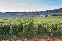 Vineyard. Batard Montrachet. Puligny Montrachet, Cote de Beaune, c d'Or, Burgundy, France