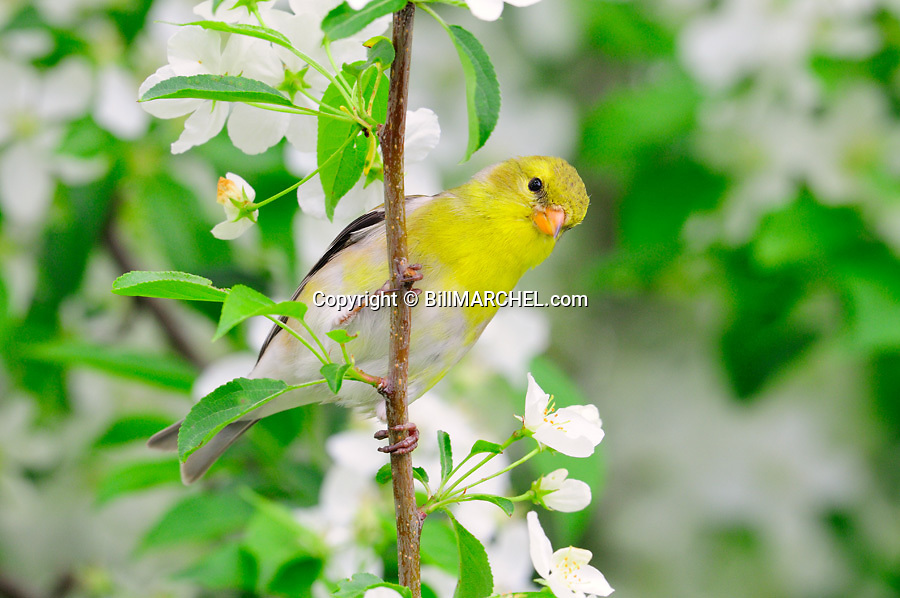 00445-029.05 American Goldfinch female is perched in a crab apple tree in bloom.  Color, spring, landscape.