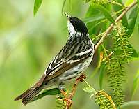 Adult male blackpoll warbler in willow tree