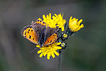 american copper butterfly drinking nector from yellow flower, concord, new hampshire