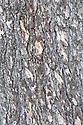 Trunk and bark of Atlas cedar (Cedrus atlantica).