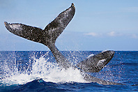 humpback whale, Megaptera novaeangliae, throwing peduncle while the other competing whale breaches during heat-run, Hawaii, Pacific Ocean