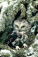 OW02-043z   Saw-whet owl - sitting on branch - Aegolius acadicus
