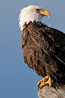 A bald eagle at the Homer Spit in Alaska looks away from the rising sun.