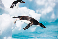 An adult Adelie penguin (Pygoscelis adeliae) leaping into the sea to forage in the Danger Island Group in the Weddell Sea, Antarctica.