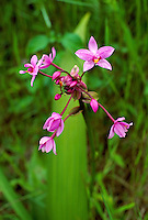 Spathoglottis plicata, Philippine or Malayan ground orchid, a terrestrial invasive orchid in Kauai, Hawaii, USA.