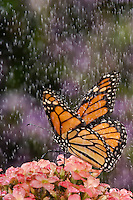 MONARCH BUTTERFLY (Danaus plexippus) in rain shower..Summer. Nova Scotia, Canada.
