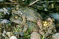 Gewöhnliche Geburtshelferkröte, Nördliche Geburtshelferkröte, Paarung, mit Laich, Eiern, Kröte, Kröten, Alytes obstetricans, common midwife toad, with eggs, spawn, toads