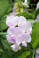 Sweetpeas Lathyrus odoratus pink and white, flowering in late spring