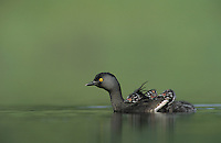 Least Grebe, Tachybaptus dominicus,adult with young on back, Rio Grande Valley, Texas, USA