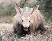 """For many photographers and wildlife enthusiasts, the aardvark is one of Africa's """"holy grail"""" species.  I was fortunate to have aardvark sightings every day during my visit to Samara Private Game Reserve.  This female was particularly tolerant and cooperative during the day."""