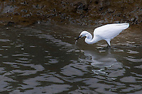 A Snowy egret prowls the banks of a channel in the Hayward Marsh, part of the Hayward Regional Shoreline.