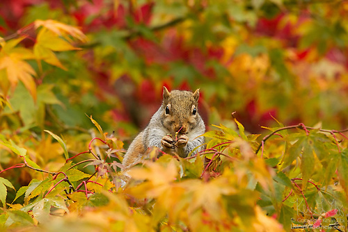 Gray Squirrel Feeding, Autumn, Seattle Arboretum, Washington state