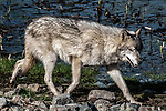 grey wolf female light grey color phase full body view walking to right