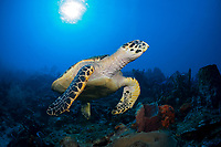 Hawksbill sea turtle, Eretmochelys imbricata, Dominica, Caribbean, Atlantic