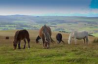 Horses near Newtown, Powys.