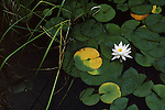 A Lily Pad floats in darks water with a single white flower in Montana.
