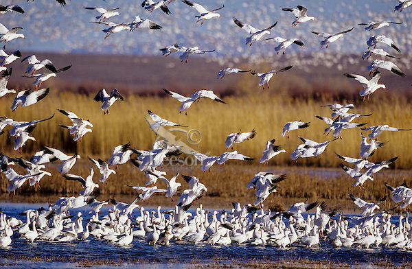 Snow geese landing in shallow, flooded field, early spring-late winter migration.  Lower Klamath National Wildlife Refuge, California-Oregon.
