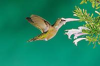 Broad-tailed Hummingbird, Selasphorus platycercus, female in flight feeding on Mexican Oregano (Poliomintha maderensis), Miller Canyon, Arizona, USA, August 2004