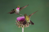 Broad-tailed Hummingbird, Selasphorus platycercus, males in flight feeding on Musk Thistle (Carduus nutans),Rocky Mountain National Park, Colorado, USA, June 2007