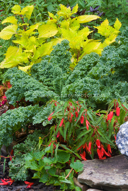 Vegetable dinosaur kale, Coleus Solenostemon Pineapple Queen, Begonia Romance, three annual plants in combination together aka Cavalo Nero kale