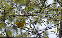 Yellow Warblers are eye-catching songbirds and difficult to photograph...