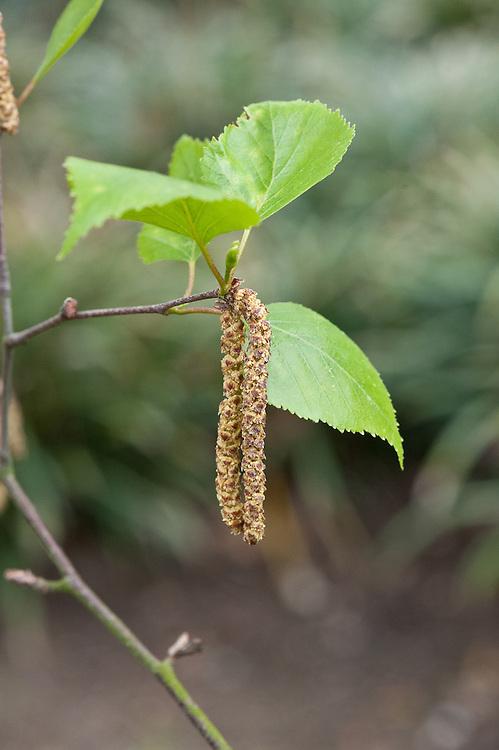 Catkins of a Szechuan or Sichuan White Birch (Betula szechuanica), late March.