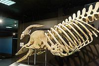 Pottwal im Zoologische Museum, Martin-Luther-King-Platz 3, Hamburg, Deutschland