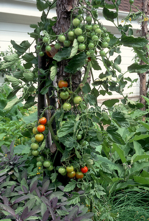 Cherry tomatoes 'Super Sweet 100' growing