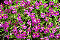 Monkey Flowers (Mimulus species) are found in several colors, principally yellow and pink in Yellowstone. They tend to concentrate sodium chloride and other salts absorbed from the soils in which they grow in their leaves and stem tissues. Native Americans and early travelers in the American West used this plant as a salt substitute to flavor wild game. The entire plant is edible, but reported to be very salty and bitter unless well cooked. The juice squeezed from the plant's foliage was used as a soothing poultice for minor burns and skin irritations.