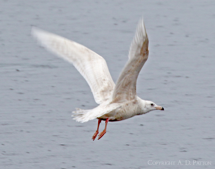 First-winter glaucous gull flying