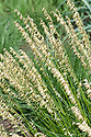Melica macra, late June. A South American grass native to Argentina, Brazil, and Uruguay
