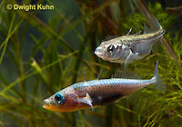 1S47-597z  Threespine Stickleback, male courting gravid female with a zigzag dance, she reponds with a head-up posture to display her swollen belly, Marine form, Gasterosteus aculeatus