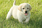 Yellow Labrador retriever (AKC) puppy walking in the grass