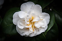 Camellia japonica 'Welbankiana'. Brought from China in 1816 by Capt. Robert Welbank of the East Indiaman Cuffnells for Charles Hampton Turner of Rook's Nest, Surrey. (From catalogue, Camellias in the Conservatory Festival 2011, Chiswick House and Gardens).